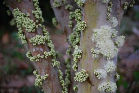 """Đẹp lạ kỳ nho thân gỗ - loại cây đang khiến dân Việt quot;phát sốt"""" - 10"""
