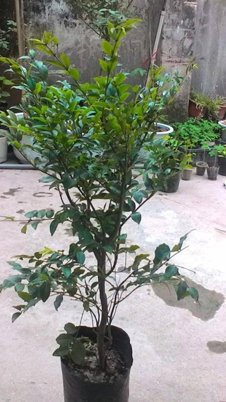 """Đẹp lạ kỳ nho thân gỗ - loại cây đang khiến dân Việt quot;phát sốt"""" - 12"""