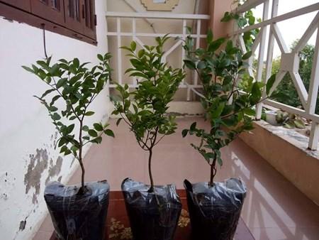 """Đẹp lạ kỳ nho thân gỗ - loại cây đang khiến dân Việt quot;phát sốt"""" - 13"""