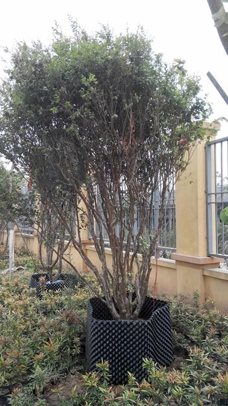 """Đẹp lạ kỳ nho thân gỗ - loại cây đang khiến dân Việt quot;phát sốt"""" - 15"""