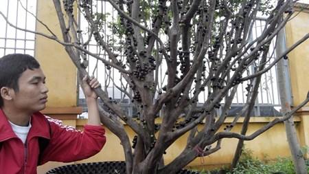 """Đẹp lạ kỳ nho thân gỗ - loại cây đang khiến dân Việt quot;phát sốt"""" - 16"""