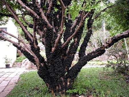 """Đẹp lạ kỳ nho thân gỗ - loại cây đang khiến dân Việt quot;phát sốt"""" - 2"""