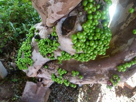 """Đẹp lạ kỳ nho thân gỗ - loại cây đang khiến dân Việt quot;phát sốt"""" - 4"""