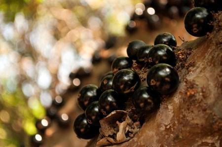 """Đẹp lạ kỳ nho thân gỗ - loại cây đang khiến dân Việt quot;phát sốt"""" - 5"""