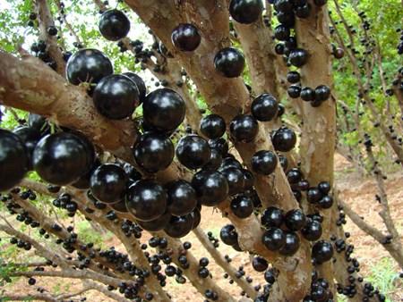 """Đẹp lạ kỳ nho thân gỗ - loại cây đang khiến dân Việt quot;phát sốt"""" - 6"""