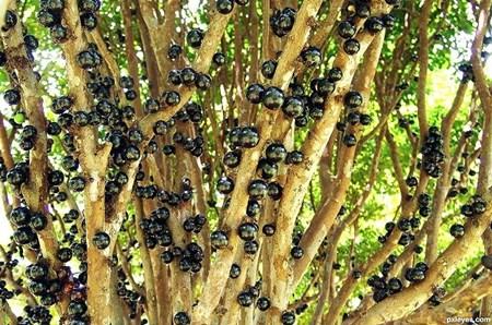 """Đẹp lạ kỳ nho thân gỗ - loại cây đang khiến dân Việt quot;phát sốt"""" - 7"""