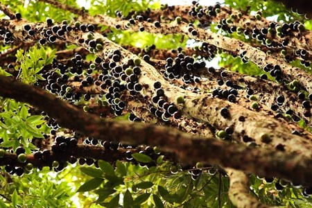 """Đẹp lạ kỳ nho thân gỗ - loại cây đang khiến dân Việt quot;phát sốt"""" - 9"""