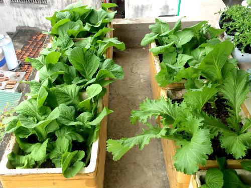 Chồng ngộ độc vì ăn rau sạch siêu thị 8x xinh đẹp hà nội quyết tâm tự trồng rau tại nhà - 9