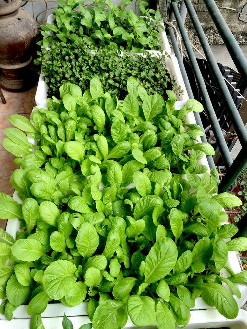 Chồng ngộ độc vì ăn rau sạch siêu thị 8x xinh đẹp hà nội quyết tâm tự trồng rau tại nhà - 11
