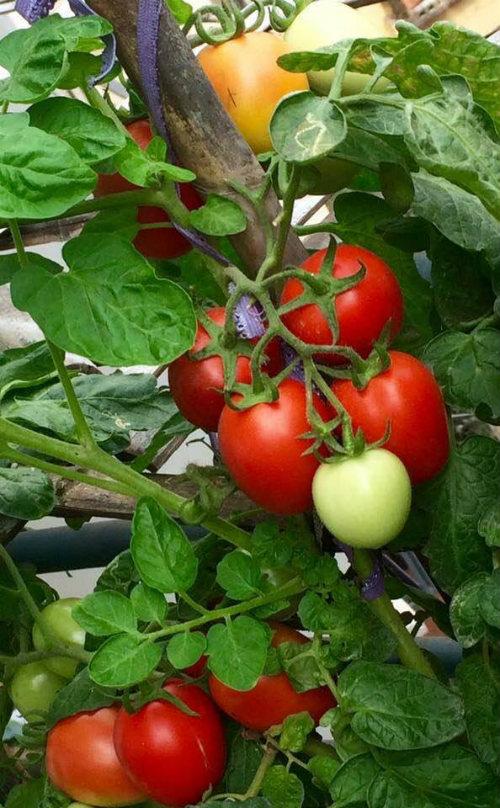 Chồng ngộ độc vì ăn rau sạch siêu thị 8x xinh đẹp hà nội quyết tâm tự trồng rau tại nhà - 6