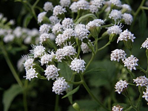 Những loại hoa càng đẹp càng độc, có 1 loại ở Việt Nam rất phổ biến - 4