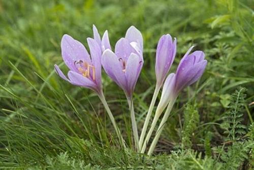 Những loại hoa càng đẹp càng độc, có 1 loại ở Việt Nam rất phổ biến - 8