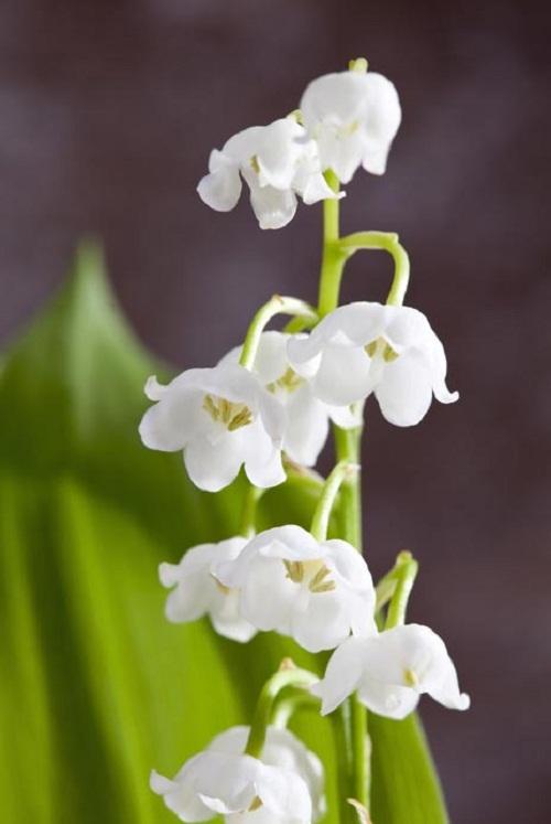 Những loại hoa càng đẹp càng độc, có 1 loại ở Việt Nam rất phổ biến - 6