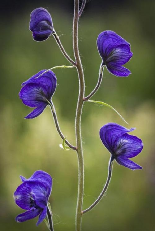 Những loại hoa càng đẹp càng độc, có 1 loại ở Việt Nam rất phổ biến - 3