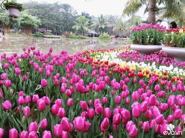 ẢNH ĐẸP: Tin được không, thiên đường hoa tulip hàng vạn bông nở rực rỡ ngay ngoại ô Hà Nội
