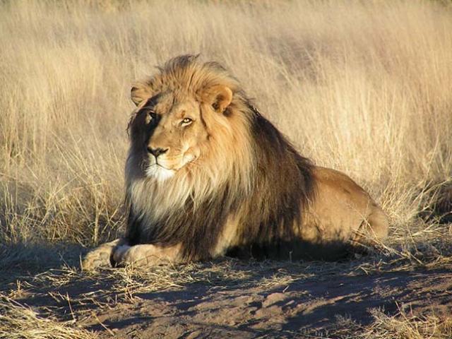 Trải nghiệm du lịch kiểu độc: Ngủ với 77 con sư tử bao quanh