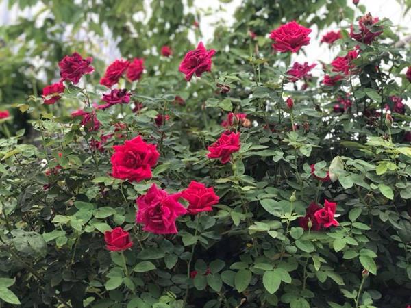 Xiêu lòng trước sân thượng rực rỡ hoa hồng của bà mẹ ở Hà Nội - 5