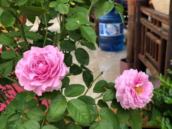 Xiêu lòng trước sân thượng rực rỡ hoa hồng của bà mẹ ở Hà Nội - 7