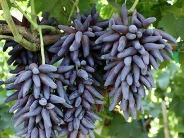 Kiếm tiền tỷ mỗi năm nhờ trồng nho, ai nói ở quê không thể giàu?