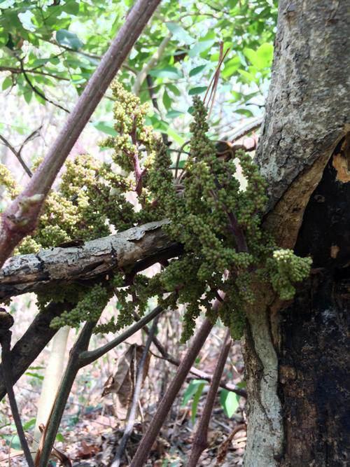 Nho rừng tự nhiên ra chi chít quả khiến amp;#34;vạn người mêamp;#34; ở Ninh Thuận - 2