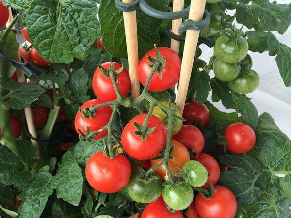7 loại rau trồng 1 lần ăn quanh năm, để trong nhà cũng sống - 4