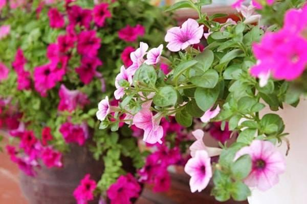 10 loai hoa trong ban cong ho bien ngoi nha them ruc ro, nha nao cung nen co - 6