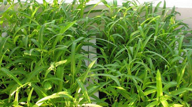 nhung loai rau trong san thuong thang 3, cang mua phun cang nhanh tot - 3