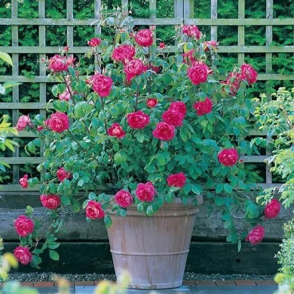 Các loại hoa đẹp dễ trồng tại nhà Hình 1
