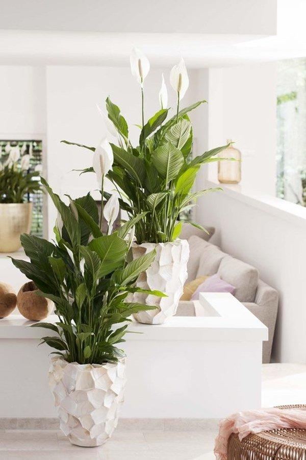 Những loại cây lọc không khí cực đỉnh, nhà nào cũng nên có ít nhất 1 cây trong nhà - 4