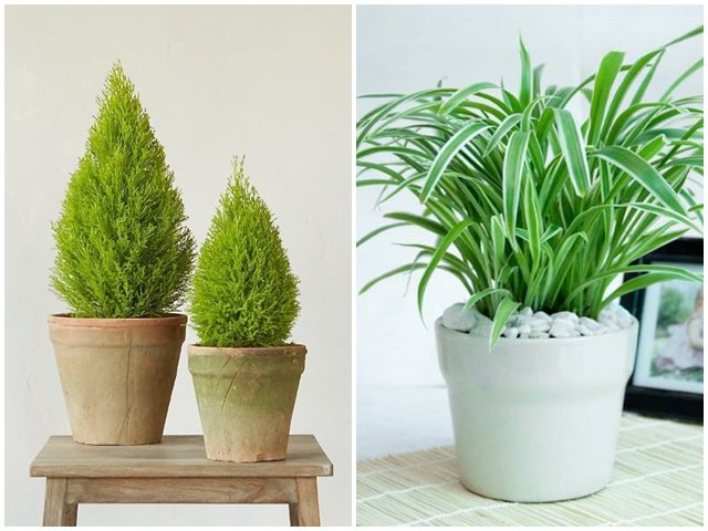 8 loại cây được ví như máy lọc không khí, nhà nào cũng nên đặt ít nhất 1 cây