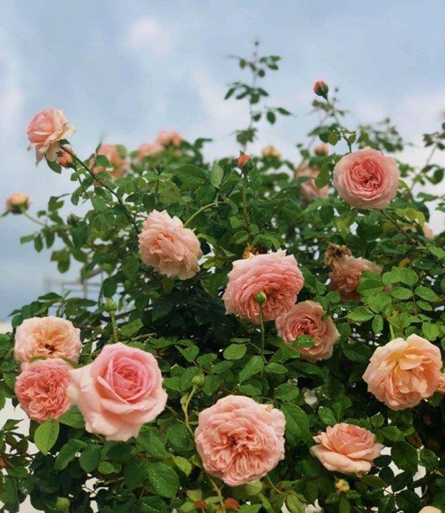 o nha tranh dich, quyen linh cung vo con len san thuong go khoai lang, thu hoach hoa trai - 9