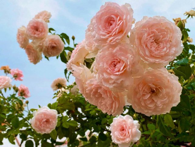 o nha tranh dich, quyen linh cung vo con len san thuong go khoai lang, thu hoach hoa trai - 10