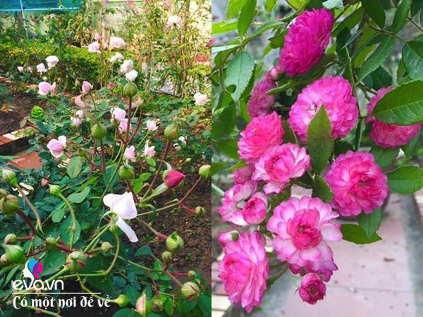 Cô giáo xứ Thanh cải tạo vườn trống, 4 năm sau có ngôi nhà hoa hồng đẹp như mơ - Ảnh 11.