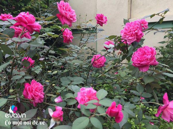 Cô giáo xứ Thanh cải tạo vườn trống, 4 năm sau có ngôi nhà hoa hồng đẹp như mơ - Ảnh 8.