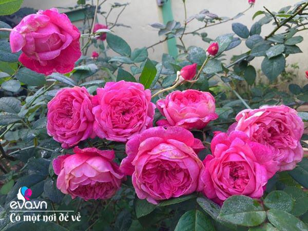 Cô giáo xứ Thanh cải tạo vườn trống, 4 năm sau có ngôi nhà hoa hồng đẹp như mơ - Ảnh 9.