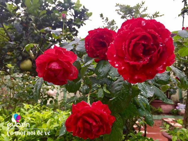 Cô giáo xứ Thanh cải tạo vườn trống, 4 năm sau có ngôi nhà hoa hồng đẹp như mơ - Ảnh 10.