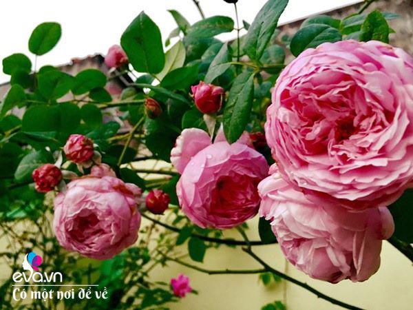 Cô giáo xứ Thanh cải tạo vườn trống, 4 năm sau có ngôi nhà hoa hồng đẹp như mơ - Ảnh 12.