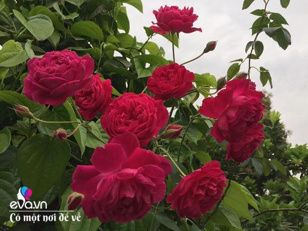 Cô giáo xứ Thanh cải tạo vườn trống, 4 năm sau có ngôi nhà hoa hồng đẹp như mơ - Ảnh 13.