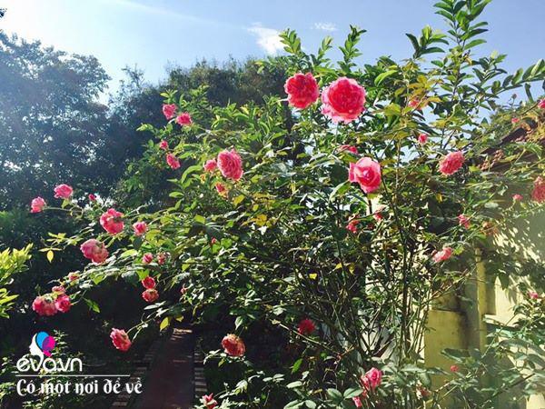 Cô giáo xứ Thanh cải tạo vườn trống, 4 năm sau có ngôi nhà hoa hồng đẹp như mơ - Ảnh 4.