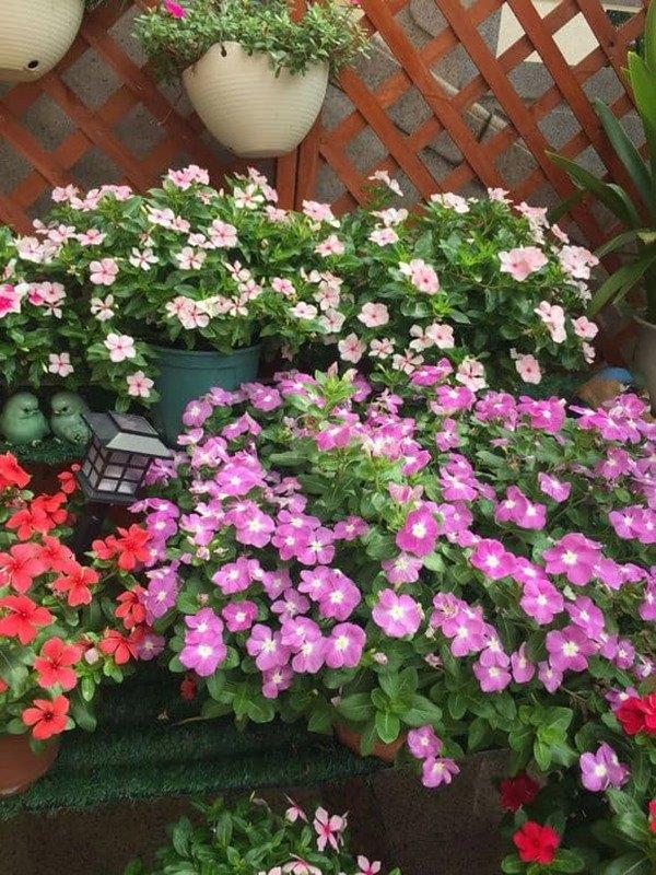 Chọn trồng 4 loại hoa này trên ban công, vừa đẹp, tươi lâu và dễ chịu - 5