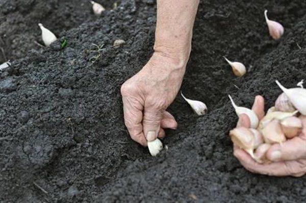 Cách trồng tỏi dễ như ăn kẹo, lấy 1 tép vùi vào đất mấy tuần sau ăn không hết - 3