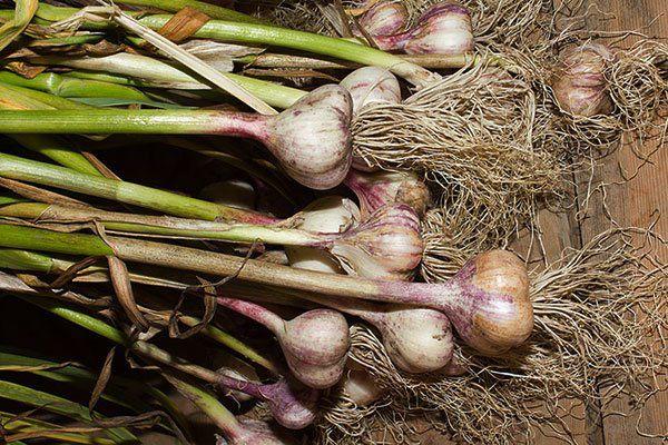 Cách trồng tỏi dễ như ăn kẹo, lấy 1 tép vùi vào đất mấy tuần sau ăn không hết - 5