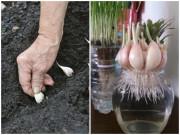 Cách trồng tỏi dễ như ăn kẹo, lấy 1 tép vùi vào đất mấy tuần sau ăn không hết