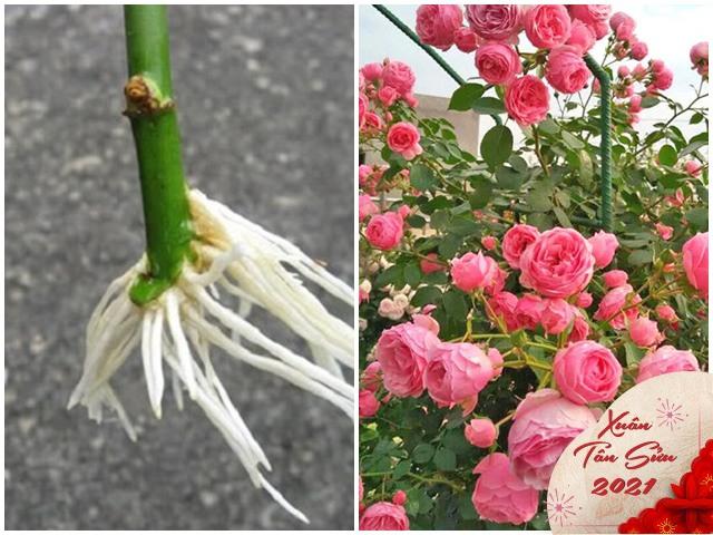Mua hoa hồng về chơi Tết nhớ giữ lại gốc, giâm xuống đất kết quả sẽ khiến bạn bất ngờ