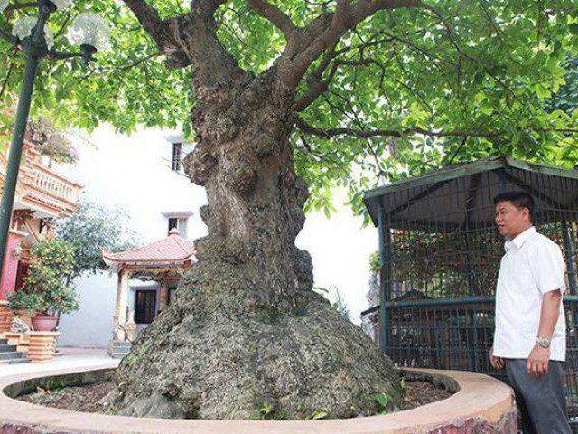 Mãn nhãn cây lộc vừng tích tụ phát lộc thu hút nhiều người yêu cây