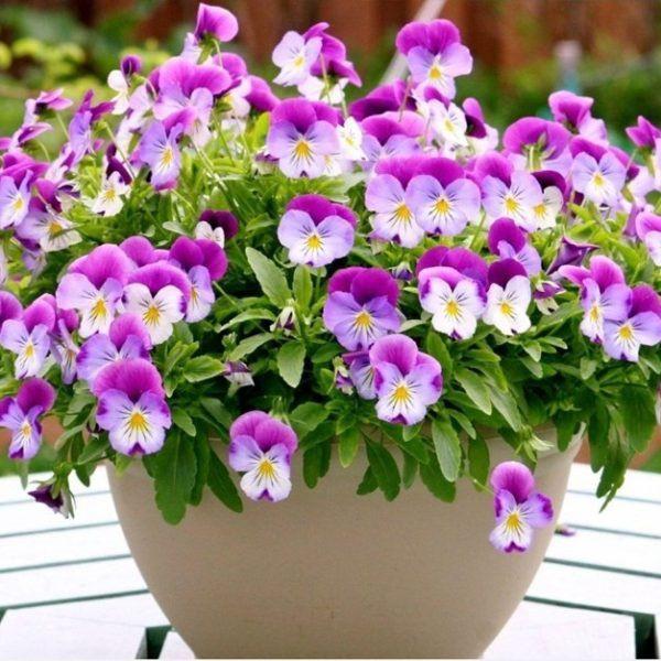 Mùa xuân nên chọn 5 loại hoa trên ban công, tươi lâu, đơn giản, trang nhã và đẹp - 3