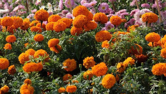 7 loại hoa phong thủy mang tài lộc, phúc khí trong năm Tân Sửu 2021 - 5
