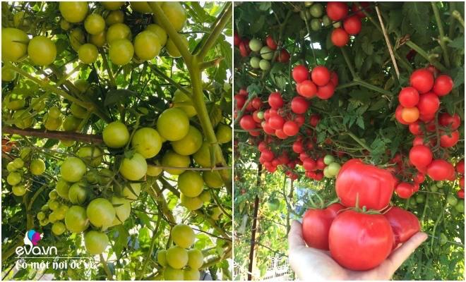 Giữa lòng thủ đô, thanh niên làm vườn ao chuồng, thu về cả tạ cá, cà chua, su hào...đủ loại - 12