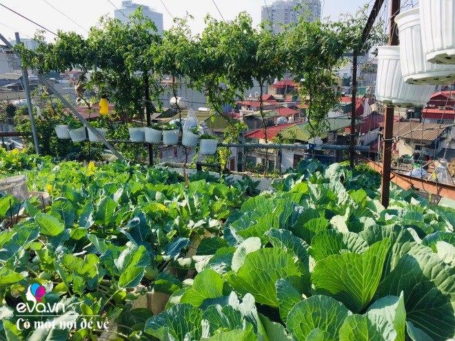 Giữa lòng thủ đô, thanh niên làm vườn ao chuồng, thu về cả tạ cá, cà chua, su hào...đủ loại - 15