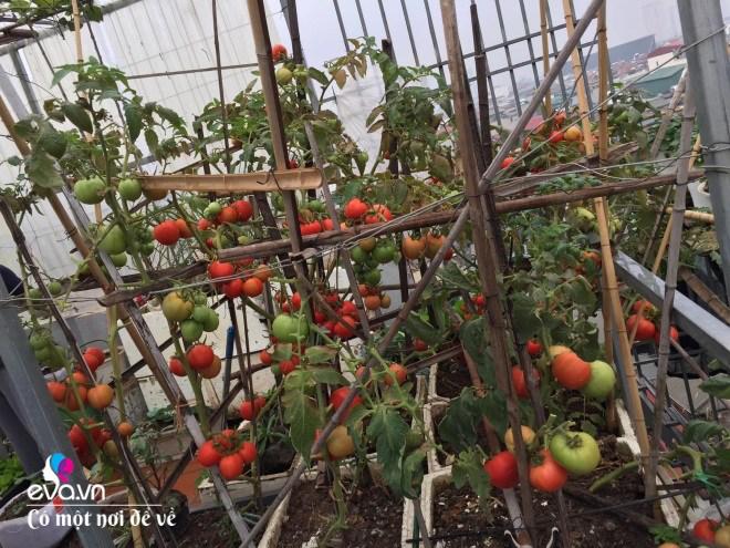 Giữa lòng thủ đô, thanh niên làm vườn ao chuồng, thu về cả tạ cá, cà chua, su hào...đủ loại - 21